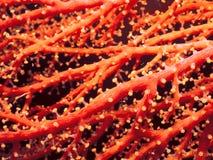 Orange rote Koralle Lizenzfreie Stockfotografie