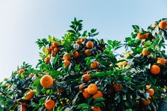 Orange Round Citrus Fruit Under Blue Sky Royalty Free Stock Photography