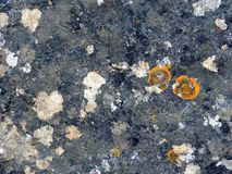 Orange round lichens on a dark grey stone. Royalty Free Stock Photo
