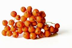 Orange rowan berries bunch isolated on white background.  Stock Photo