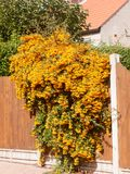 Orange rowan berries tree hanging over front garden fence royalty free stock photography