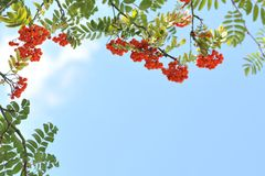 Orange rowan berries on a tree. Sorbus Royalty Free Stock Photo