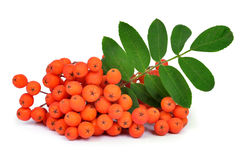 Orange rowan Royalty Free Stock Image