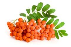 Orange rowan with leaf isolated on white background.  Royalty Free Stock Image
