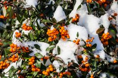 Orange rowan in winter royalty free stock images