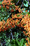 Orange Rowanberries of Common Sea buckthorn Hippophae rhamnoides Royalty Free Stock Photo