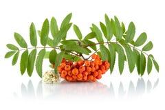 Orange rowanberry with flower isolated on white background Stock Photo