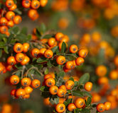 Orange rowanberry sorbus aucuparia branch. Shallow focus backg Stock Photo