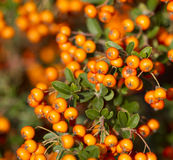 Orange rowanberry sorbus aucuparia branch. Shallow focus backg. Round Royalty Free Stock Photography