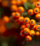 Orange rowanberry sorbus aucuparia branch. Shallow focus backg. Round Royalty Free Stock Photo