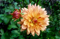 Orange Ruby. Dahlia Stock Photo