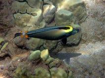Orange rygg Unicornfish Fotografering för Bildbyråer