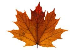 orange séchez la feuille d'érable tombée Image stock