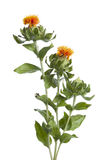 Orange Safflower Stock Photos