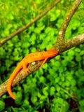 Orange salamander Royaltyfri Bild