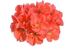 Orange salmon cranesbill (pelargonium, geranium, malva) flowers Royalty Free Stock Images