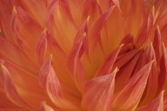 Orange and Salmon Dahlia Stock Images