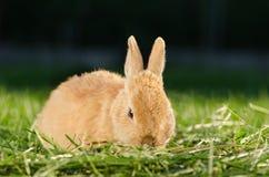 Orange sammanträde för inhemsk kanin i gräs arkivbild