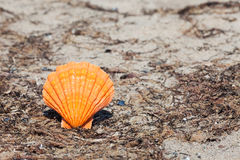 Orange scallop shell Royalty Free Stock Image