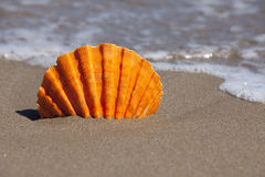Orange Scallop Shell stuck in Sand Beach Stock Images