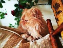Orange schöne flaumige persische Katze stockfotografie