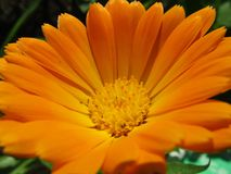 Orange schöner Blume Calendula im Garten Lizenzfreies Stockbild
