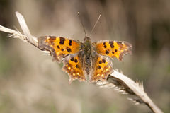 Orange Schmetterling Lizenzfreie Stockbilder