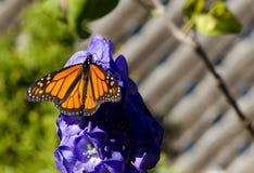 Orange Schmetterling auf blauer Blume Stockbild