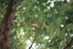 Orange Schmetterling auf dem Baum Lizenzfreies Stockbild