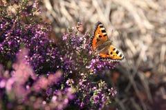 Orange Schmetterling auf den Blumen der purpurroten Heide Stockfotografie