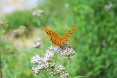 Orange Schmetterling Lizenzfreies Stockfoto