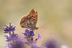 Orange Schmetterling auf Lavendel lizenzfreie stockbilder