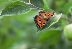Orange Schmetterling, der draußen auf einem grünen Blatt eines Baums sitzt lizenzfreie stockbilder