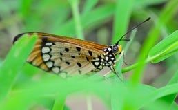 Orange Schmetterling, der am grünen Blatt hängt; selektiver Fokus am Auge Lizenzfreies Stockbild