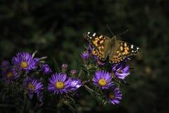 Orange Schmetterling des Spätsommers, der auf der purpurle Blume stillsteht Stockfoto