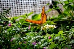 Orange Schmetterling ergreift der Fliege Maßnahmen lizenzfreie stockfotografie