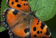 Orange Schmetterling fotografiert auf einem Stück Holz lizenzfreies stockbild