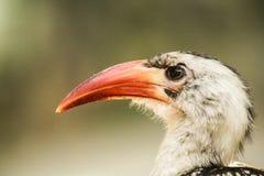 Orange Schnabelvogel Lizenzfreie Stockbilder