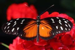 Orange schwarzer Schmetterlingsabschluß oben Lizenzfreie Stockfotos