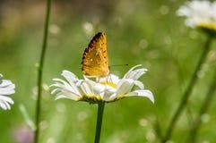 Orange Schwarzes beschmutzter Schmetterling auf der Kamille lizenzfreies stockbild