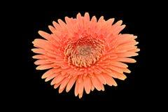 Orange Schwarzhintergrund des afrikanischen Gänseblümchens Lizenzfreie Stockbilder