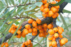 Orange sea buckthorn berries Stock Photos