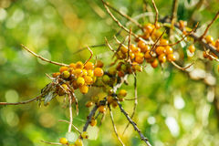 Orange sea-buckthorn Royalty Free Stock Photography