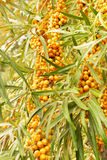 Orange sea-buckthorn berries Stock Image