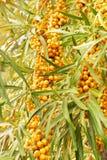 Orange sea-buckthorn berries Stock Image