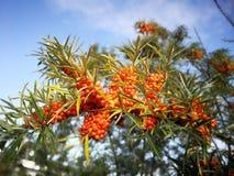 Orange sea-buckthorn in autumn Royalty Free Stock Photos