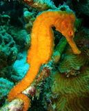 Orange Sea Horse. A beautiful orange-yellow sea horse from Bonaire, Southern Caribbean Royalty Free Stock Photos