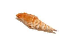 Orange sea shell. Long orange sea shell isolated over white Stock Images