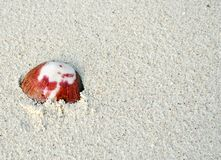 Orange sea shell on a sand beach Royalty Free Stock Photo
