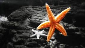 Orange Sea Star. Beautiful and interesting orange sea star with black and white background Stock Image